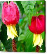 Trailing Abutilon Or Lantern  Flower Acrylic Print