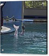 Trainer And The Tails Of A Duo Of Dolphins At The Underwater World Acrylic Print