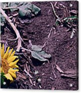 Trampled Sunflower Acrylic Print
