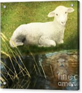 Transformation Lamb Or Lion Acrylic Print