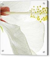 Transparent Hibiscus Acrylic Print