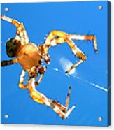 Trapeze Spider Acrylic Print by Christina Rollo