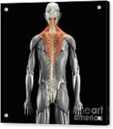 Trapezius Muscle With Skeleton Acrylic Print