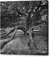 tree at Normanby Park Acrylic Print