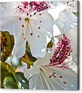 Tree Blossom Acrylic Print
