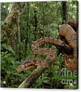 Tree Boa Acrylic Print by Francesco Tomasinelli