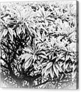 Tree Bush Vignette Acrylic Print