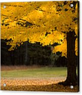 Tree Canopy Glowing In The Morning Sun Acrylic Print