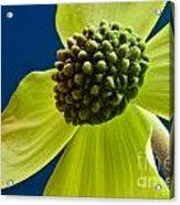 Tree Flower II Acrylic Print
