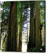 Tree Giants Acrylic Print