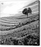 Tree In A Mowed Field. Auvergne. France Acrylic Print
