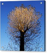 Tree In Afternoon Sunlight Acrylic Print