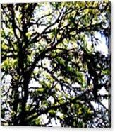 Tree In Blue Ridge Mountains Acrylic Print