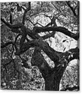 Tree In Prescott Park - Bw Acrylic Print