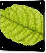 Tree Leaf Acrylic Print