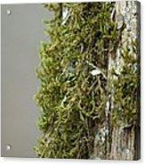 Tree Moss Closeup 2013 Acrylic Print