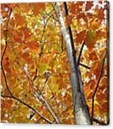 Tree Of Orange Acrylic Print by Guy Ricketts