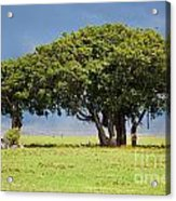 Tree On Savannah. Ngorongoro In Tanzania Acrylic Print