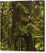 Tree Redwood Ca 7 Acrylic Print