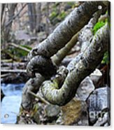 Tree Roots Acrylic Print by Charline Xia