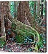 Tree Roots Tropical Rainforest Acrylic Print by Dirk Ercken