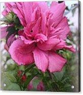 Tree Rose Of Sharon Acrylic Print