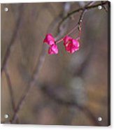 Tree Seed Capsule Pod Bursts Acrylic Print
