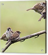 Tree Sparrows Acrylic Print