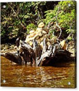 Tree Stump Filled With Rocks Acrylic Print