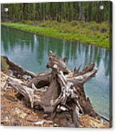 Tree Stump In Des Chutes Nf-or Acrylic Print