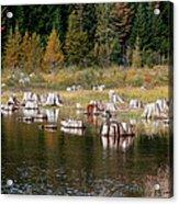 Tree Stumps At Clear Lake Acrylic Print