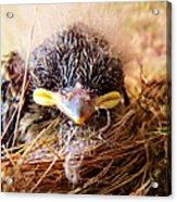 Tree Swallow Fledglings Acrylic Print