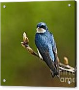 Tree Swallow Pictures 27 Acrylic Print