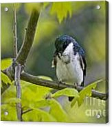 Tree Swallow Pictures 39 Acrylic Print