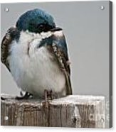 Tree Swallow Pictures 47 Acrylic Print