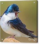 Tree Swallow Squawking Acrylic Print