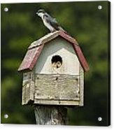 Tree Swallow With Young Acrylic Print