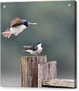 Tree Swallows Mating 1 Acrylic Print