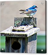 Tree Swallows Acrylic Print