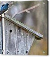 Tree Swallows On Birdhouse Acrylic Print