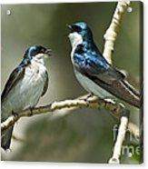 Tree Swallows Singing Acrylic Print