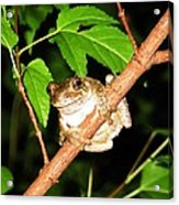 Tree Toad Night Acrylic Print by Tamara Stickler