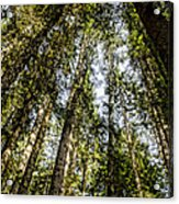 Tree Tops Acrylic Print
