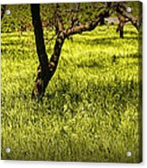 Tree Trunks In A Peach Orchard Acrylic Print