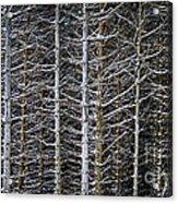 Tree Trunks In Winter Acrylic Print by Elena Elisseeva