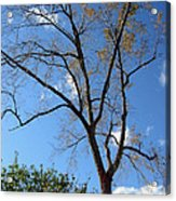 Tree Under Blue Sky Acrylic Print