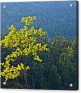 Tree With Yellow Leaves In Acadia National Park Acrylic Print