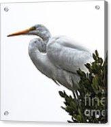 Treed Egret Acrylic Print by Robert Bales