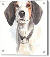 Treeing Walker Coonhound Acrylic Print