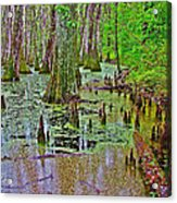 Trees And Knees In Tupelo/cypress Swamp At Mile 122 Of Natchez Trace Parkway-mississippi Acrylic Print